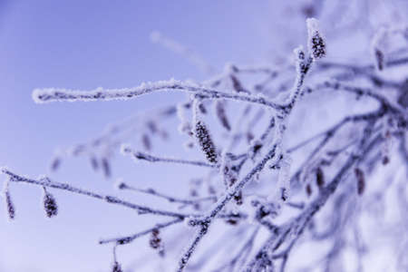 Frozen brich branch with catkins. Close up. November.