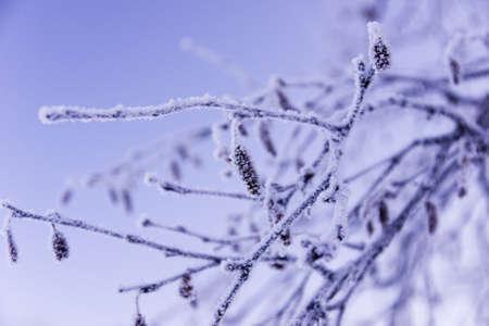 brich: Frozen brich branch with catkins. Close up. November.