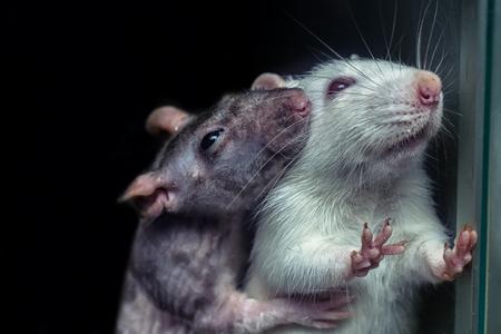한 쌍의 쥐, 회색 및 흰색 쥐