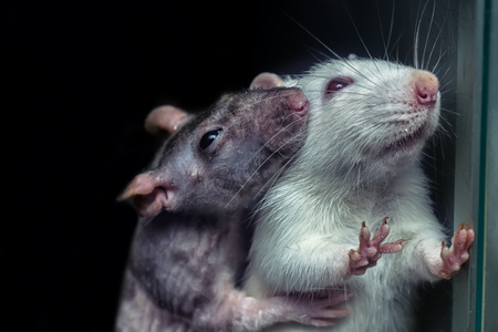 a pair of rats, gray and white rats