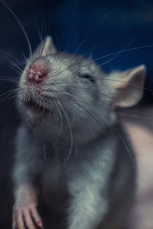 rata: rata gris