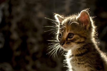 gray cat: Cute striped small kitten in the backlight
