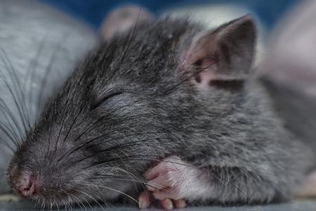 수면 쥐 스톡 콘텐츠