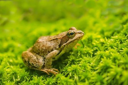 the frog: La rana en la hierba Foto de archivo
