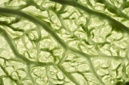 scientifically: Savoy cabbage leaves Stock Photo