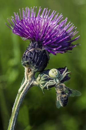 the fittest: spider caught a bee