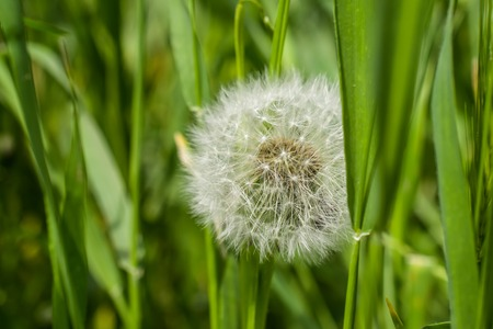 fluffy: fluffy head of dandelion in the grass