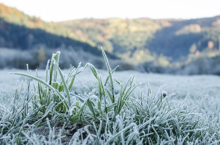 hoarfrost: Grass covered with hoarfrost