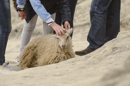 wretched: cruelty to animals, sheep exploitation