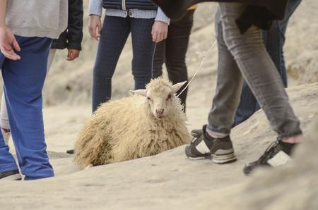 whacked: cruelty to animals, sheep exploitation