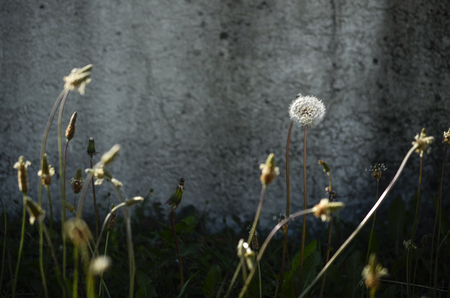 plantain: plantain and dandelion near a concrete wall, in the city