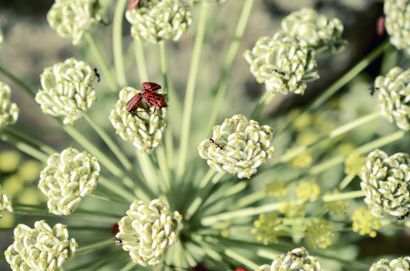 lineatum: Beetle on the flowers, spring concept, natural background
