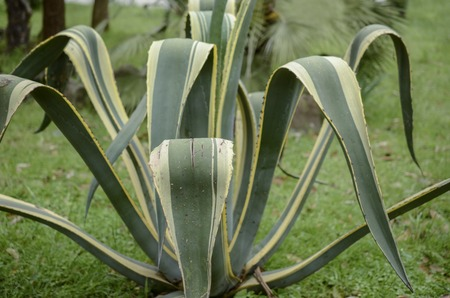 americana: leaves of succulent plant agave americana Stock Photo