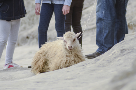 alone in crowd: cruelty to animals, sheep exploitation