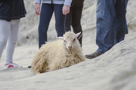 jacked: cruelty to animals, sheep exploitation