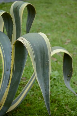 agave: hojas de agave americana planta suculenta
