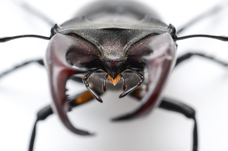 stag beetle isolated on white, head macro