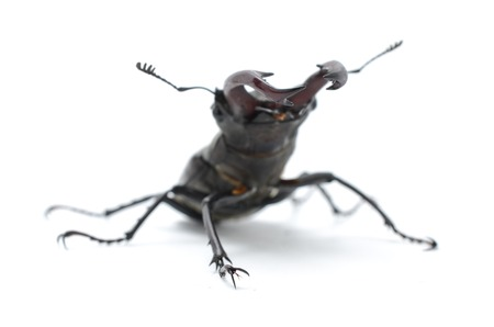 cervus: stag beetle isolated on white, side view
