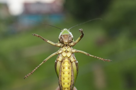 droll: grasshopper bottom, funny