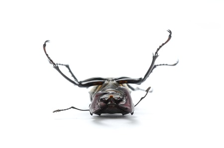 beetle on its back, stag beetle Stock Photo