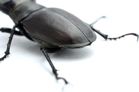 stag beetle pygidium, posterior body part Stock Photo