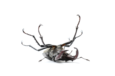 beetle on its back, stag beetle Stock Photo
