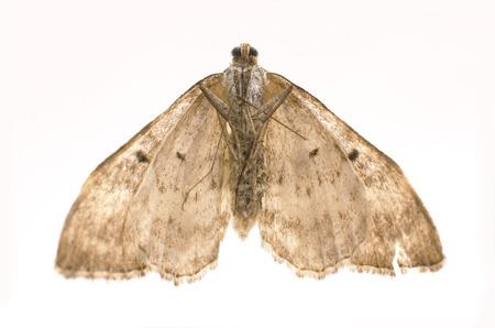 dried, dead butterfly, macro shot