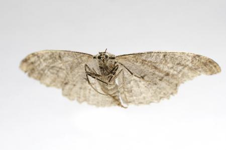 frightful: dried, dead butterfly, macro shot