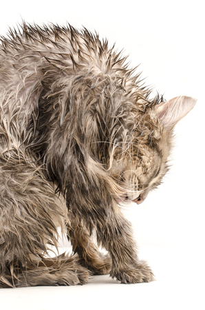 Wet cat, licked  isolated on white Stock Photo