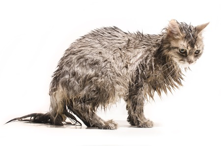 sopping: Wet cat  isolated on white