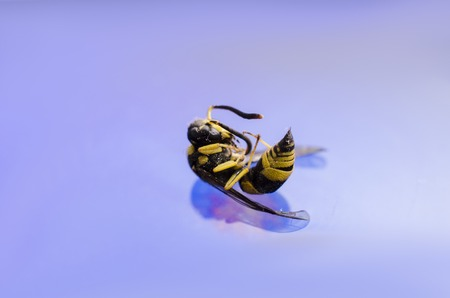Macro of a dead wasp on blue  water
