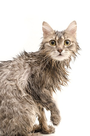 Wet cat  isolated on white