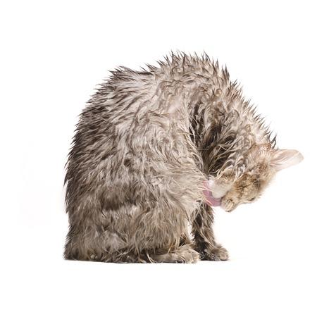 soppy: Wet cat, licked  isolated on white Stock Photo