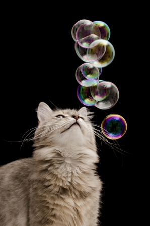 gray cat: Cat with soap bubbles on black background isolated Stock Photo