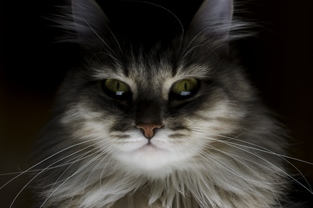 sinister portrait of a cat, sinister cat eyes 版權商用圖片