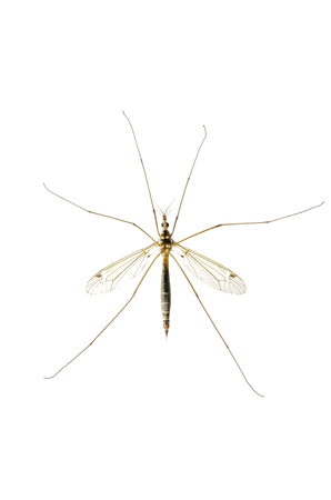 mosquito macro isolated on white