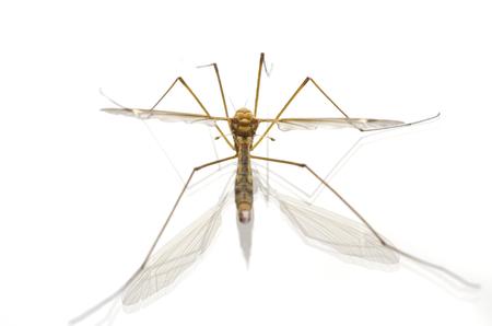 mosquito macro isolated on white