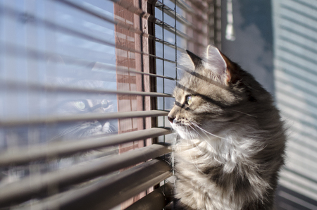 cat looks out the window through the blinds Stockfoto