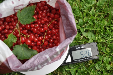 scores: Redcurrant berries in plastic bag on the scales on grassland.