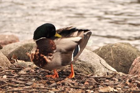Beautiful male duck standing on bnrown hillside near the water Stock Photo - 13298843