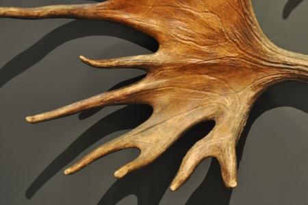 elk horn: Cuerno de alce con textura hermosa sobre fondo oscuro
