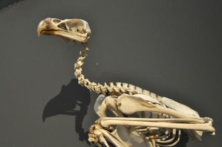 Skeleton of ancient bird animal