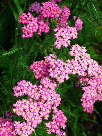 milfoil: Milfoil flowers closeup in the summer garden