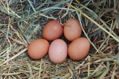 Five brown chicken eggs in the nest of dry grass photo