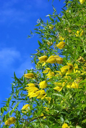 Yellow clematis flowers over the blue sky background Stock Photo - 8016919