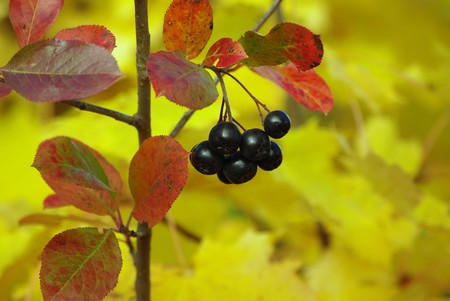 Ripe black chokeberry on the bush in autumn photo