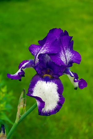 Close up image of a beautiful purple Iris flower in bloom photo