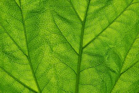 Green transparent leaf close up texture background. photo