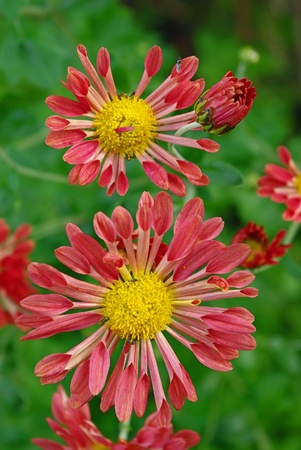 Unique variety of red-brown chrysanthemums has tubular petals. Stock Photo - 10997246