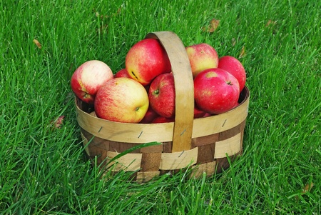 small wooden basket of freshly picked apples on lawn photo